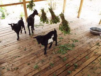Goats 10
