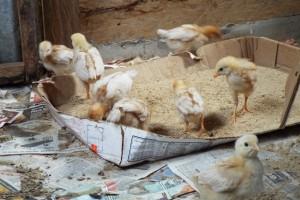 Day 6 Chicks resized