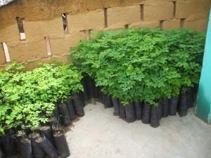 Moringa Plants Resized2