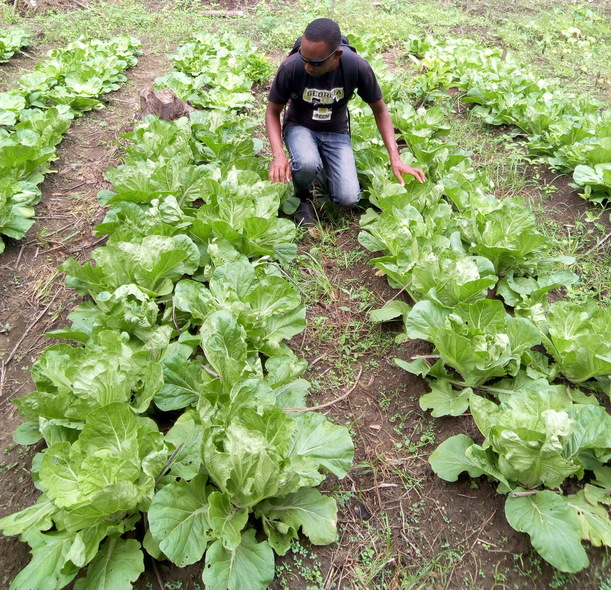 Kelvin inspects this Organic Chinese Cabbage Bed.