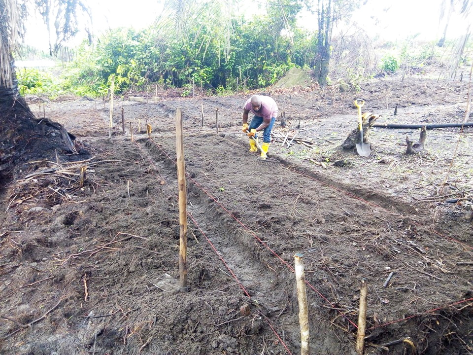 Joseph Sackie is a big help to Kelvin.  Here you see him raking the beds which have just been seeded. They planted cucumber, watermelon, eggplant, Chinese cabbage, cassava and sweet corn.   So far we have 70 raised beds.  There are so many local hardworking youth that are delighted to help on this farm.  In this way we can create some income for those who are jobless.