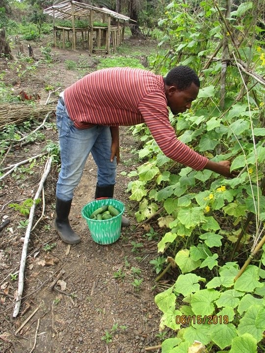Kelvin, our farm manager and trainer, is busy picking cucumbers.