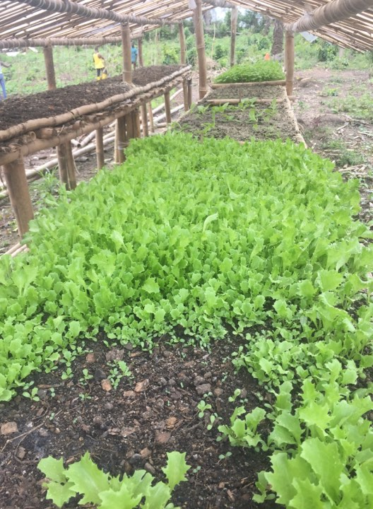 Lettuce is started in the nursery then transplanted.