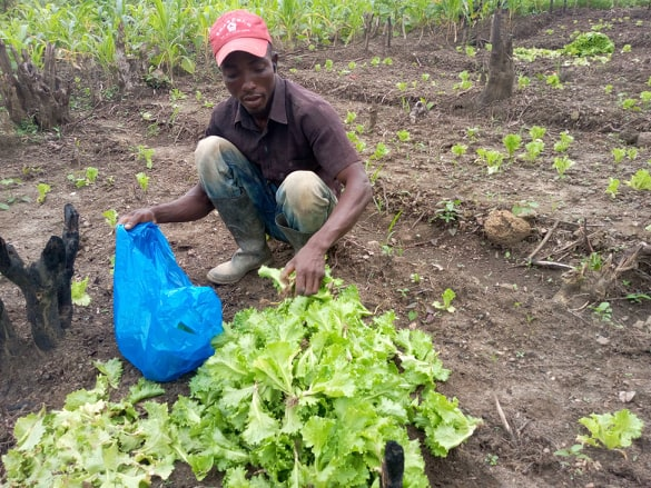 Joseph Williams is gathering the Lettuce.  The farm provides jobs for local farmers.