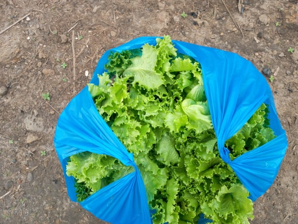 Beautiful crop of lettuce