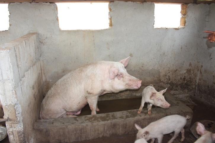 Buy a pig for a farmer to start raising hogs for market  $ 75